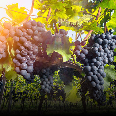 Viticulture Oenology